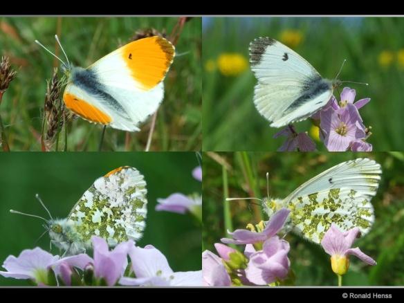 Schmetterlinge Aurorafalter
